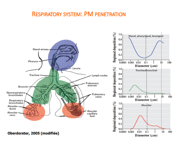 Respiratory system: PM penetration